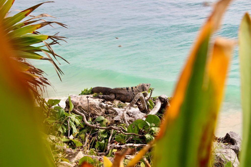 Iguane Ruines Tulum Yucatan