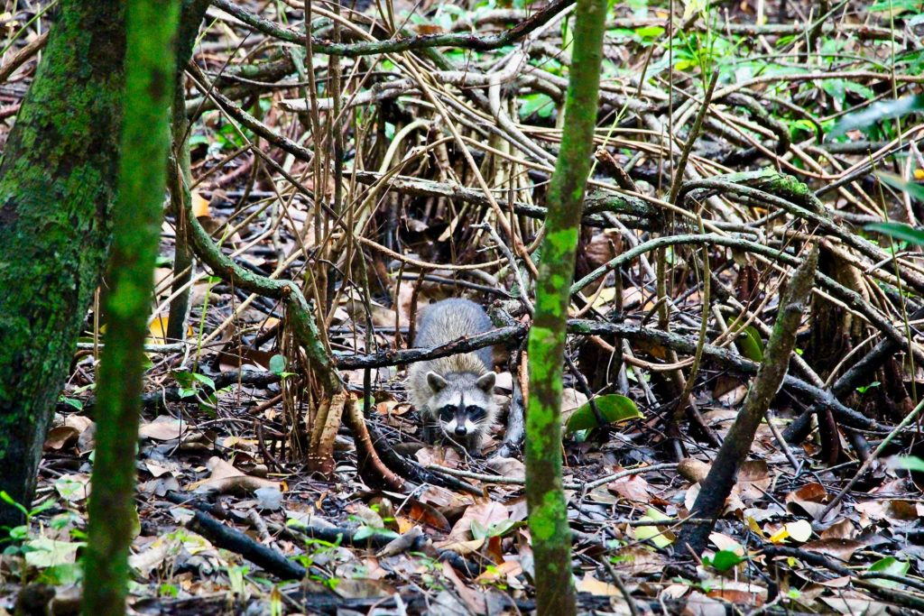 Raton laveur réserve Sian Ka'an Tulum Mexique