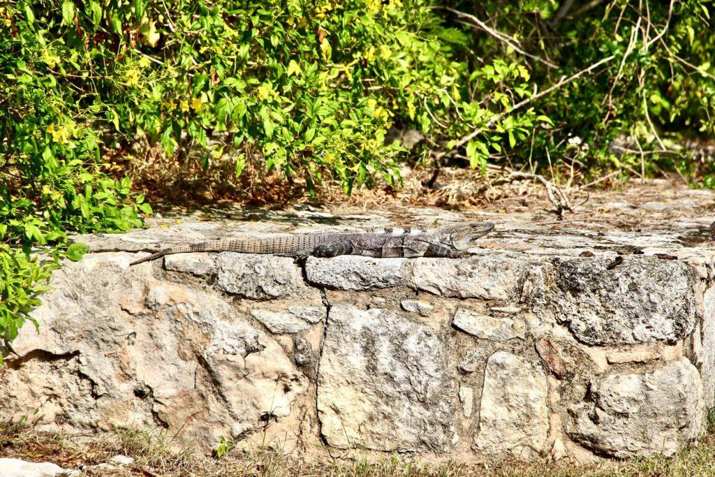 Iguane ruines Mayapan Merida Yucatan